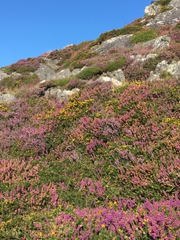 Heather and gorse, walking from Allihies to Eyeries